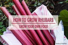 Learn how to grow rhubarb in your garden this year.