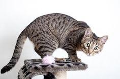 Sie haben eine Katze und wollen sie ein bisschen spielerisch fordern? Wie wäre es da mit einem Katzentraining? Was das genau ist und wie es funktioniert, erklären wir Ihnen in unserem Beitrag. Kann man Katzen erziehen? Spätestens wenn man mit einer Katze sein Heim teilt, weiß man: sie macht einfach was sie will. Dass