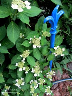 new hose guard by the hydrangeas http://ourfairfieldhomeandgarden.com/diy-project-hose-guides-from-curtain-rods/