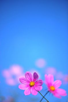 Flowers Photography Wallpaper Texture 19 New Ideas Cosmos Flowers, Wild Flowers, Flower Backgrounds, Flower Wallpaper, Amazing Flowers, Beautiful Flowers, Jolie Photo, Plantation, Pretty Pictures