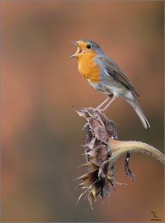 de roodborst zingt ook in de winter. hij zal vaak gezien worden tijdens de tuinvogeltelling van 17 en 18 januari 2015.