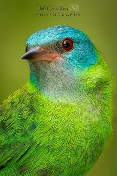 Blue Dacnis ~ By Jeffrey Munoz. The blue dacnis or turquoise honeycreeper is a small passerine bird; a member of the tanager family. Kinds Of Birds, All Birds, Love Birds, Pretty Birds, Beautiful Birds, Animals Beautiful, Exotic Birds, Colorful Birds, Bird Watching