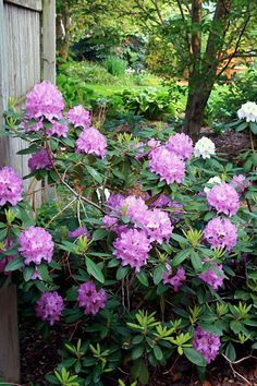 rhododendrons all over the island