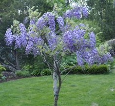 My wisteria tree, is still a vine, simply trained as a tree. This takes an incredible amount of heavy pruning two or three times a year, . Wisteria Trellis, Wisteria Plant, Wisteria How To Grow, Wisteria Garden, Wisteria Wedding, Wisteria Japan, Wisteria Tunnel, White Wisteria, Wisteria Pergola