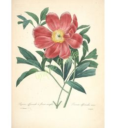 """A collection of Pierre Joseph Redoute flowers from Des Plus Belle Fleurs"""". Gorgeous free flower prints from the most famous botanical artist."""