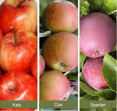 Family Le Tree Online From Jacksons Nurseries Cottage Gardens Fruit Trees