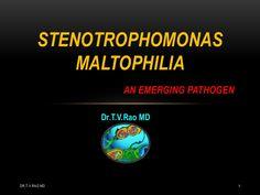 Stenotrophomonas maltophilia - an emerging pathogen #VetTechLife