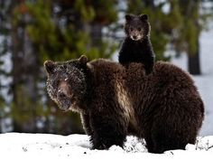 ensphere:    (via Yellowstone Picture – Grizzly Bear Picture - National Geographic Photo of the Day)