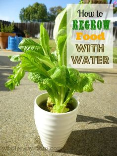 Did you know you can regrow food with water? Even if you fail at having nice garden beds each summer, you'll win at growing lettuce and other foods with just water!