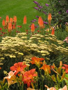 Red hot poker day lilies, Achillea and Kniphofia