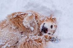 dog, retriever, snow, play,