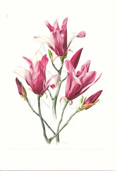 Vintage magnolia poster Liliflora Nigra print by annelondez1