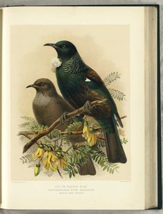 NZ Tui or Parson Bird (adult & young) by JG Keulemans (from Walter Buller's 'A History of The Birds of New Zealand' - 1870's)