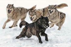 Running Wolves / grupo salvaje