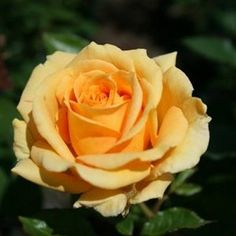 Sweet Isabella ~ Hybrid Tea Rose
