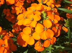Wallflower...It's considered a wildflower, and OMG the scent is AMAZING!!!