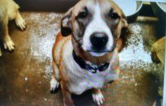 11/17/14-ODESSA URGENT- Shepherd mix female 1-2 years old What a beautiful dog! Kennel ? Available NOW**** $51 to adopt All these dogs are URGENT! Located at Odessa, Texas Animal Control. Must have a valid Drivers License and utility bill with matching address to adopt. They accept Credit Cards, cash or checks. We ARE NOT the pound. We are volunteers who network these animals to try and find them homes. Please send us a PM if we can answer any questions for you.