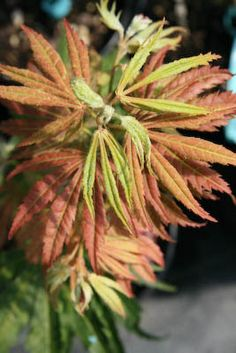 Japanese Maple Tiger Rose