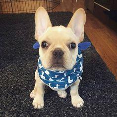 French Bulldog Puppy,  by @markelpresley on instagram