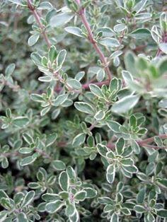 Thymus argenteus   Silver Thyme