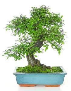 Images Of Bonsai Zelkova Parvifolia Chinese Elm