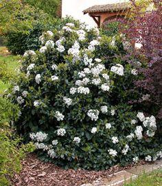 Folhado comum - Viburnum tinus