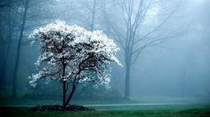 landscapes trees fog Magnolia white flowers flowered trees wallpaper background