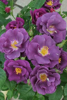 Rosa 'Rhapsody in Blue' (U., before Rosa 'Rhapsody in Blue' (U. Lavender Roses, Purple Flowers, Red Roses, Black Roses, Lavender Hair, Lavender Fields, Rose Flowers, Flowers Nature, Tropical Flowers