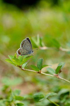 Short-tailed Blue A Bug's Life, Moth, Butterflies, Blue, Butterfly, Bowties, Papillons, Caterpillar