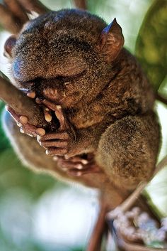 A Tarsier up close. Looks a bit like a gremlin, a troll or the funny/cute/slightly scary character on the front of 'Where the Wild Things Are'.