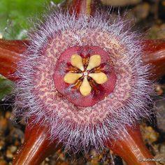 Duvalia corderoyi flower Corona Macro by Martin_Heigan, via Flickr