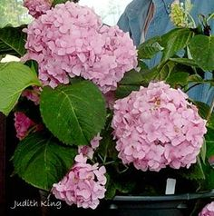 'Endless Summer' the first commercial and best known reblooming hydrangea.