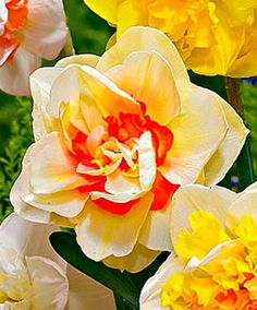 Double-Flowering Daffodils 'Flower Parade'