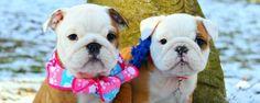 #English #Bulldog #Puppies