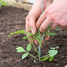 planting tomato , زراعة الطماطم  چاندنی تەماتە