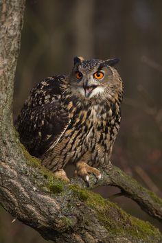 500px / Eagle Owl by Milan Zygmunt