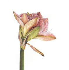 Hippeastrum botanical flower painting by Fiona Strickland