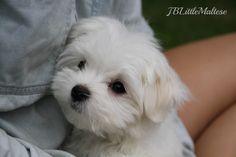 Purebred Maltese puppy of JBLittleMaltese Reg'd - www.jblittlemaltese.com  Purebred Canadian Champion Maltese