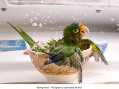 National Geographic--  Half-Moon Parrot--Makes me miss Bess. (Don't mention her to Mugger)