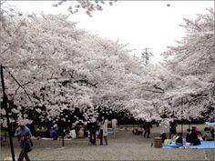 que tal um passeio pelas cerejeiras ?