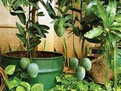 Teknik Bertanam Mangga di Pot | Fachri's Blog