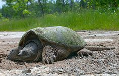 Make it ILLEGAL to hunt the at risk Snapping Turtles.