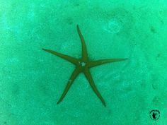 Tauchen Lanzarote - Playa Chica - Patrick? Ein Seestern ist ein Tier - jawohl!