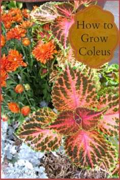 Coleus a growing guide ~ planting, pairing, pruning propagating. Container Plants, Container Gardening, Gardening Tips, Container Flowers, Shade Garden, Garden Plants, Beautiful Gardens, Beautiful Flowers, Plantar