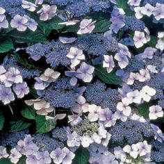 Blue Billow Hydrangea serrata Shrub - backyard shade garden