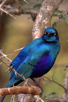 Greater Blue-eared Starling (Lamprotornis chalybaeus) by gerdavs. Blue-eared Glossy-starling (Lamprotornis chalybaeus) is a bird that breeds from Senegal east to Ethiopia, South Africa and Angola. It is a very common species of open woodland. Kinds Of Birds, All Birds, Angry Birds, Love Birds, Pretty Birds, Beautiful Birds, Animals Beautiful, Cute Animals, Exotic Birds