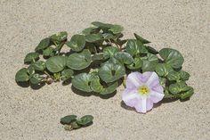 Beach Morning Glory, Calystegia soldanella  https://en.wikipedia.org/wiki/Calystegia_soldanella