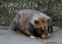 What are your favourite Syrian hamster colours? Small Animals, Animals And Pets, Hamster Species, Dark Colors, Colours, Hamster Cages, Syrian Hamster, Cute Hamsters, Mice