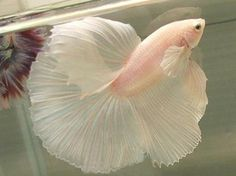 pale pink fish. probably the most elegant looking fish i have ever seen.