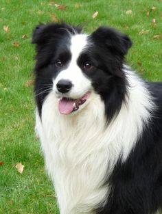 border collier | Border Collie | Welcome to Our World of Dogs